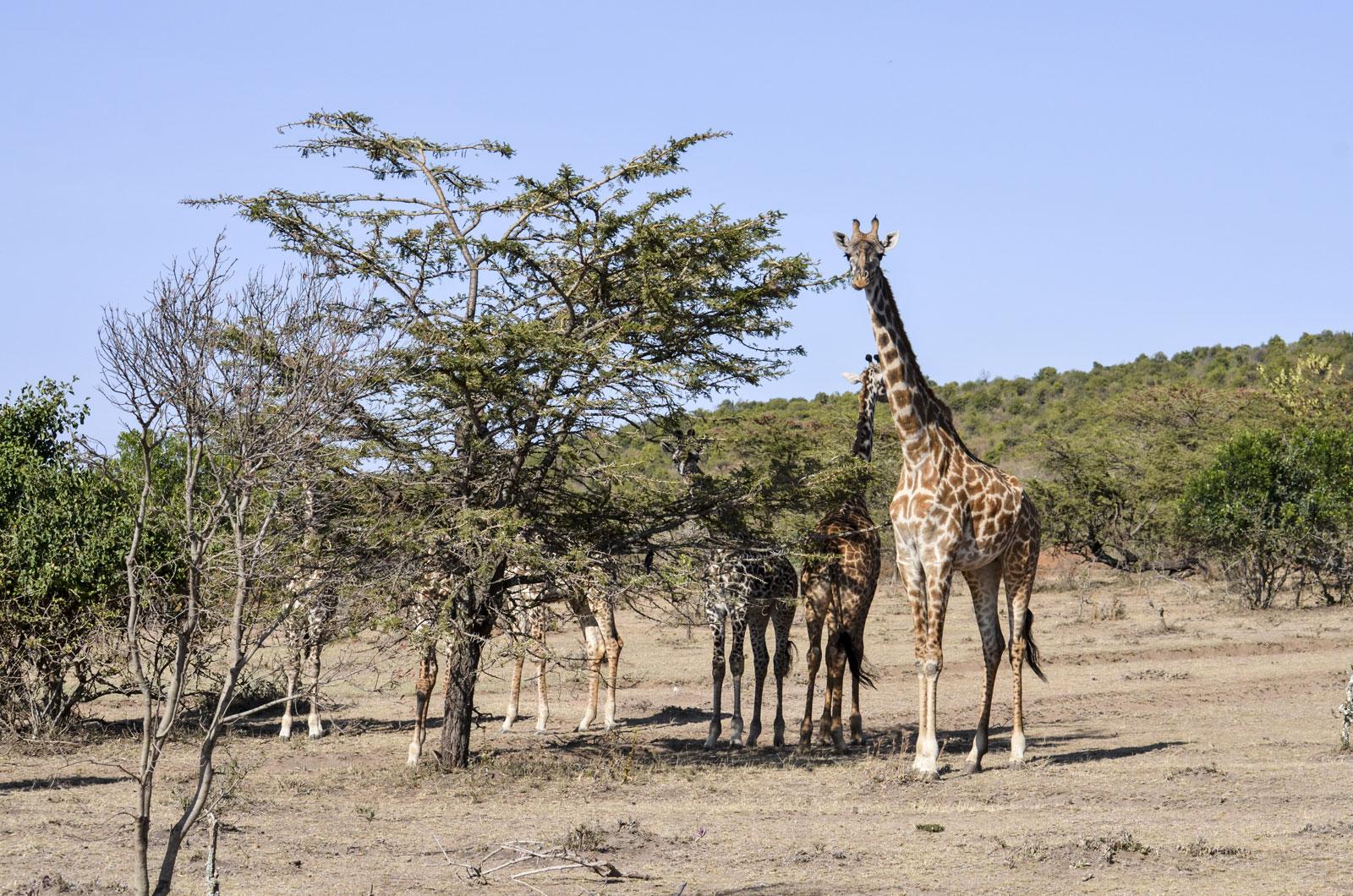 Giraffes' Family