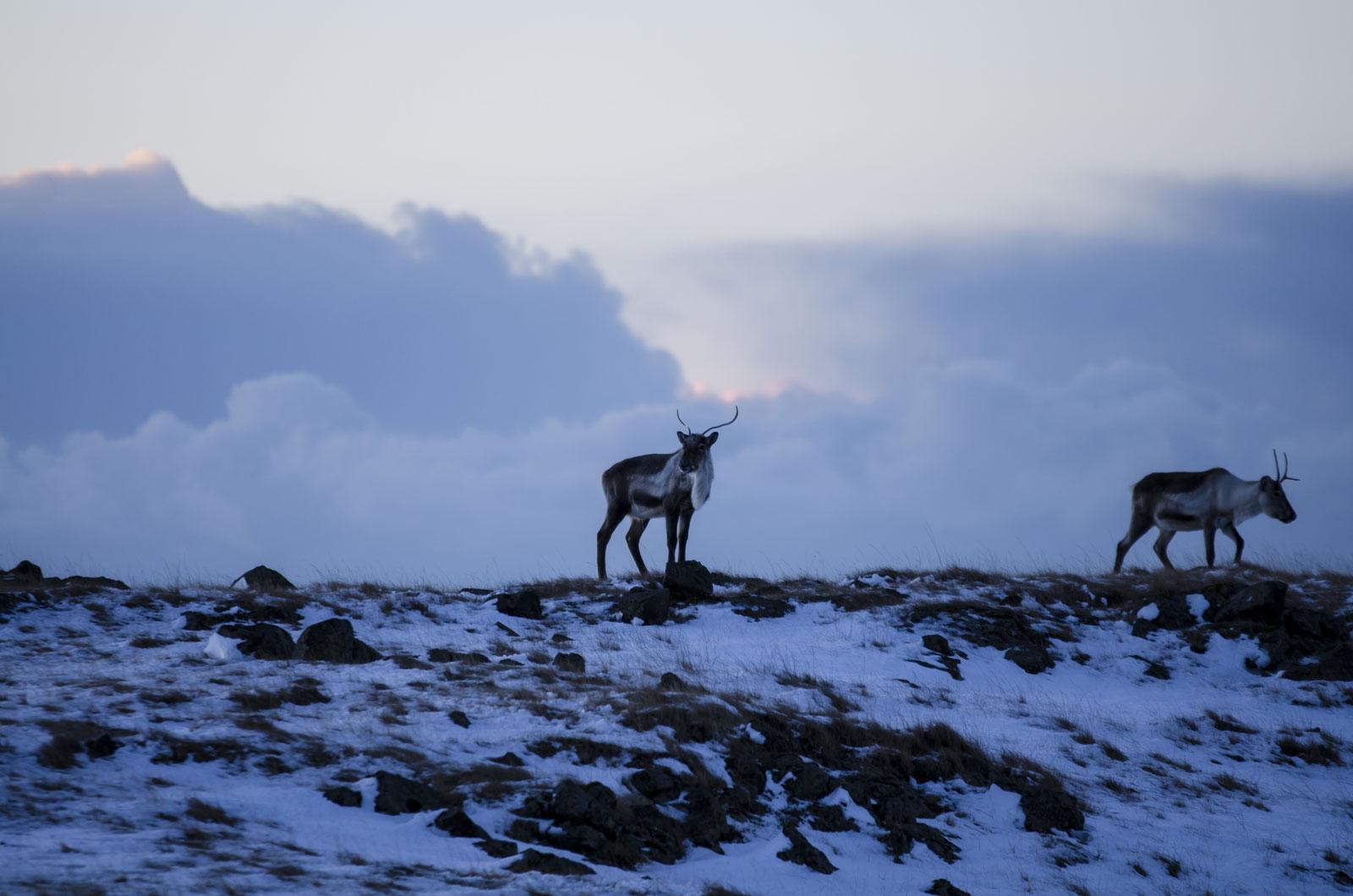Reindeer At Dawn, Renne All'Alba